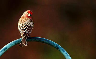 Surreal Purple Finch Poster