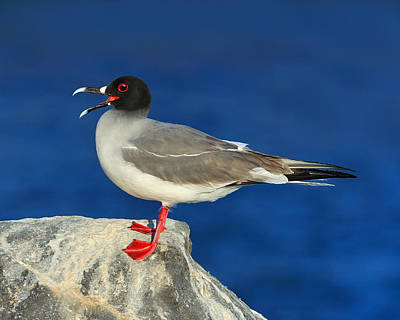 Swallow-tailed Gull Poster by Tony Beck