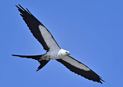 Swallow-tailed Kite Poster