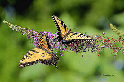 Swallowtail Butterflies 276 Poster by EricaMaxine  Price