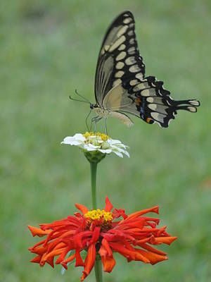 Swallowtail Butterfly And Zinnias Poster by Cindy Croal