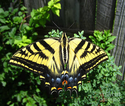 Swallowtail Butterfly Feeding Poster