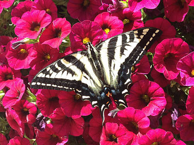 Swallowtail Butterfly Full Span On Fuchsia Flowers Poster