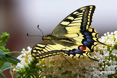 Swallowtail Butterfly Poster by Nick  Biemans