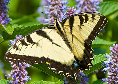 Swallowtail Butterfly On Anise Hyssop Poster