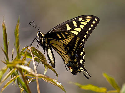 Swallowtail In Profile Poster
