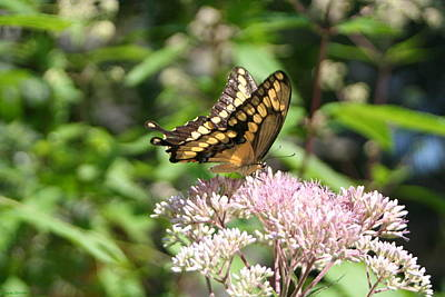 Poster featuring the photograph Swallowtail by Karen Silvestri