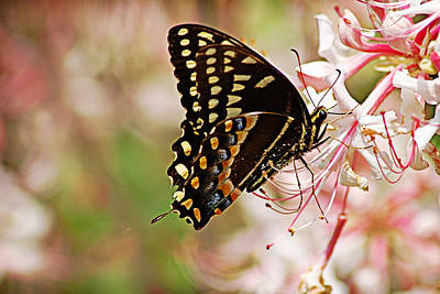 Swallowtail Poster by Linda Brown