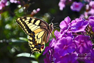 Swallowtail On A Flower Poster