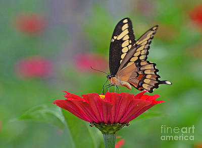 Swallowtail On A Zinnia Poster
