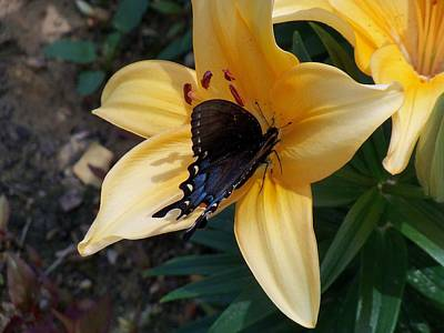 Poster featuring the photograph Swallowtail On Asiatic Lily by Kathryn Meyer