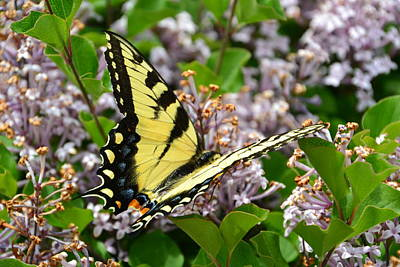 Swallowtail On Lilacs Poster