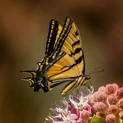Swallowtail On Milkweed Poster by Janis Knight