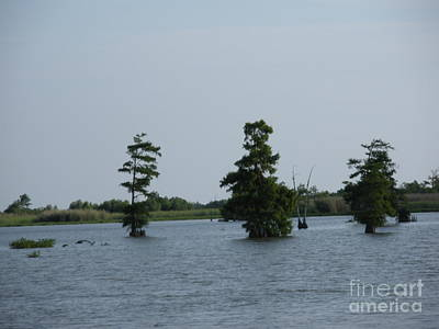 Poster featuring the photograph Swamp Tall Cypress Trees  by Joseph Baril