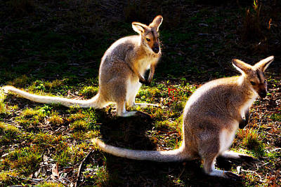 Red-necked Wallabies Poster
