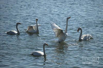 Swan 7 Poster by James Yang