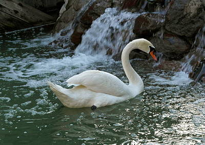 Swan A Swimming Poster