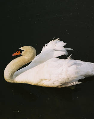 Poster featuring the photograph Swan At Rest Wil 115 by G L Sarti