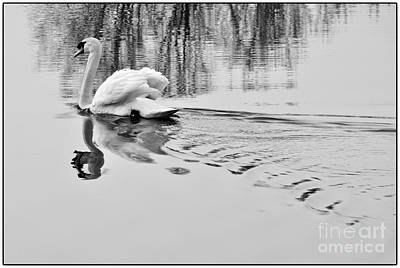 Poster featuring the photograph Swan Elegance by Simona Ghidini