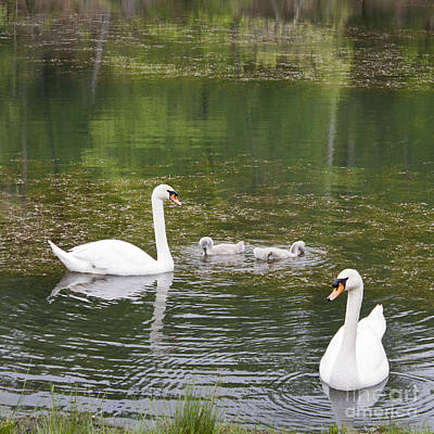 Swan Family Squared Poster by Teresa Mucha