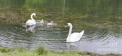 Swan Family Poster by Teresa Mucha