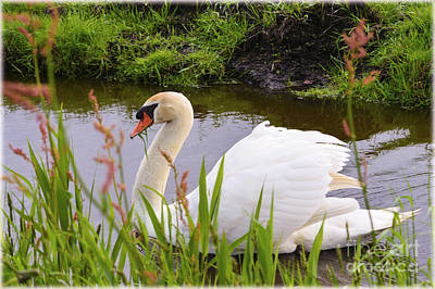 Swan In Water In Autumn Poster