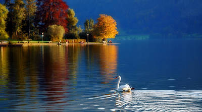 Beautiful Autumn Swan At Lake Schiliersee Germany  Poster