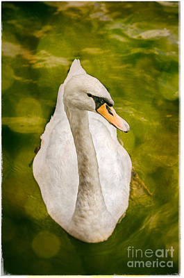 Swan  Poster by Lenny Carter