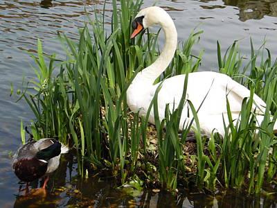 Swan Nesting Poster