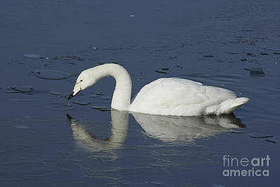 Swan On Frozen Lake Poster by Philip Pound