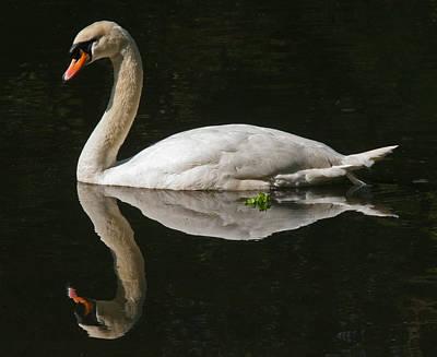 Swan Reflection Poster by John Topman
