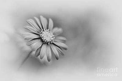Swan River Daisy Monochrome Poster by Tim Gainey