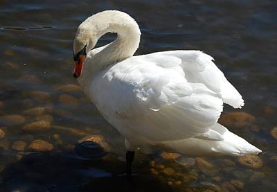 Swan Sunbathing Poster