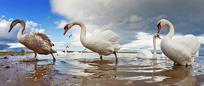 Swans Wading In The Shallow Water  Holy Poster