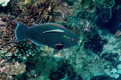 Swarthy Parrotfish With Cleaner Wrasse Poster