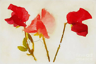 Sweet Pea Watercolour Poster by John Edwards