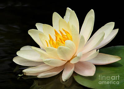 Sweet Peach Water Lily Poster