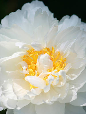 Poster featuring the photograph Sweet Peony by The Art Of Marilyn Ridoutt-Greene