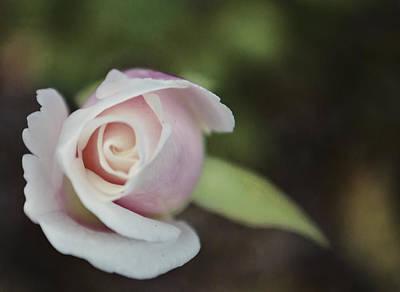 Sweet Pink Rose Poster
