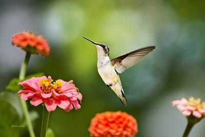 Sweet Promise Hummingbird Poster by Christina Rollo