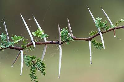 Sweet Thorn (vachellia Karroo) Poster