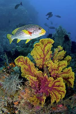 Sweetlip Fish Swims Over Gorgonian Poster