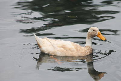 Swimming Duck Poster by Pamela Walton