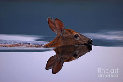 Swimming Fawn Poster