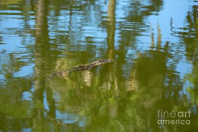 Swimming Gator Poster
