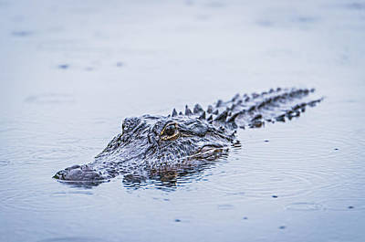 Swimming On A Rainy Day - Alligator Photograph Poster