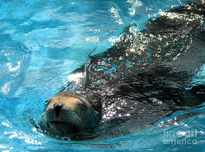 Poster featuring the photograph Swimming Sea Lion by Kristine Merc