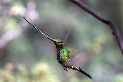 Sword-billed Hummingbird Hovering Ecuador Poster