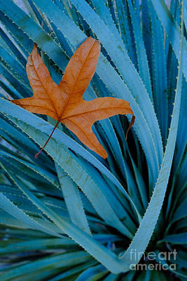 Sycamore Leaf And Sotol Plant Poster