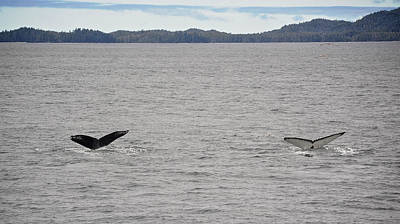 Humpback Whale Tails Poster by Mary Lee Dereske